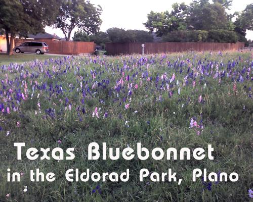 Texas Bluebonnet in Eldorado Park Plano Texas