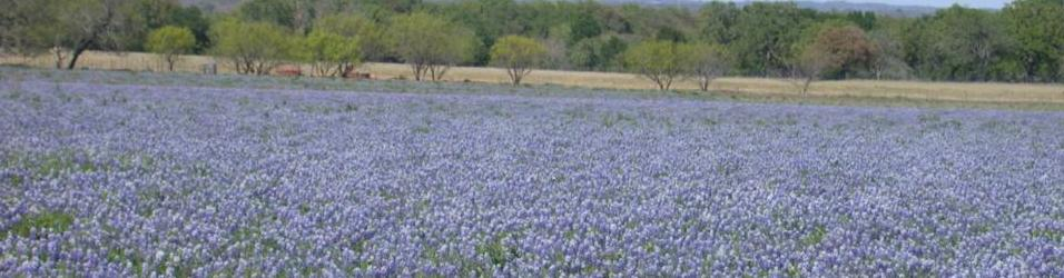 Texas Bluebonnet is state flower of Texas